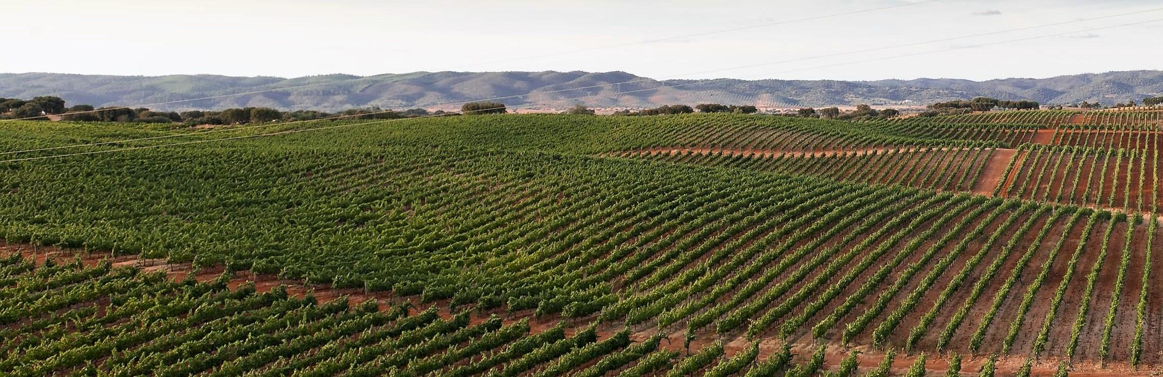 Vinhas no Alentejo de Produção de Bons Vinhos