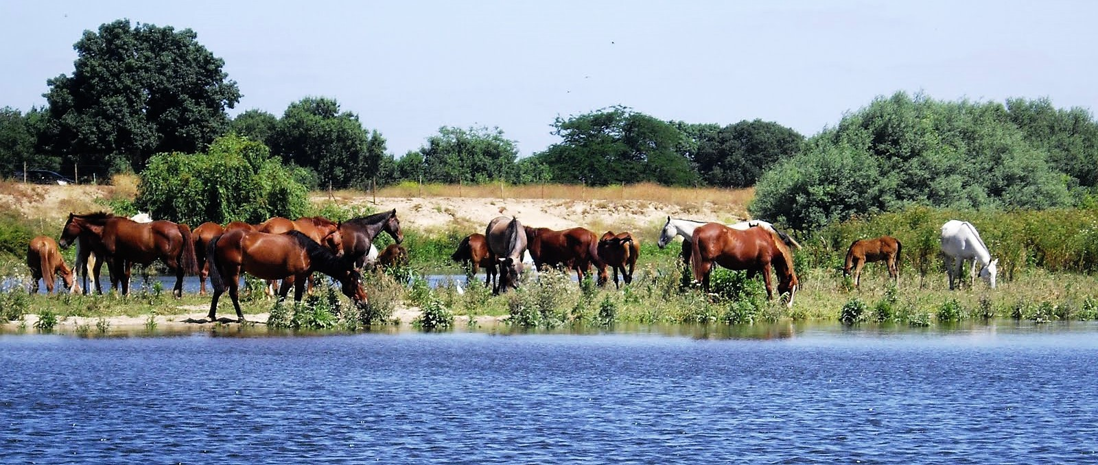 Cavalos Lusitanos na margem do estuário do Tejo